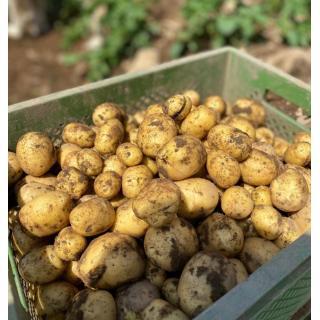 Frühkartoffeln Birkenhof